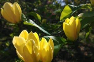 magnolia pierdere în greutate